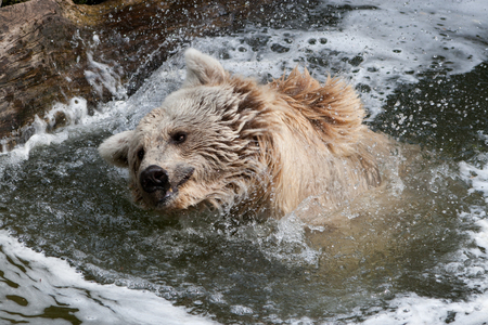 forceful: Brown Bear shakes