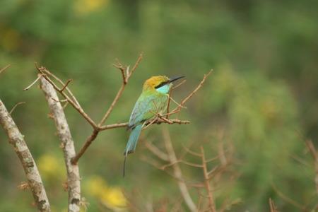 outlaws: Green Bee Eater Bird