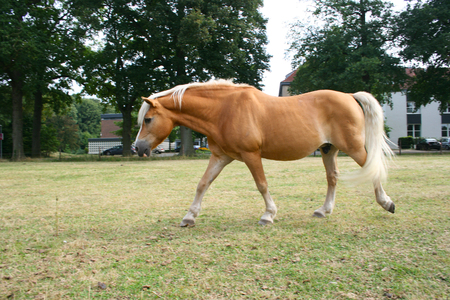 nostrils: Haflinger on the meadow Stock Photo