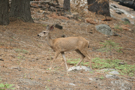 cerfs Yosemite State Park