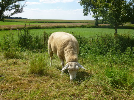 longshot: sheep eats grass Stock Photo