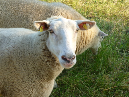 longshot: sheep portrait Stock Photo