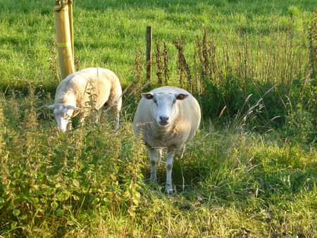 longshot: sheeps on the meadow