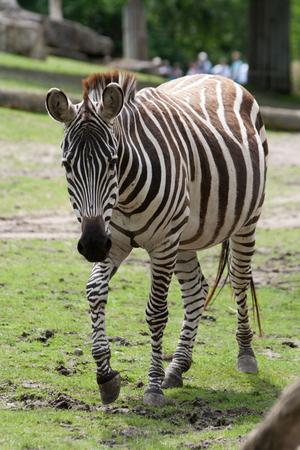 yegua: Zebra yegua