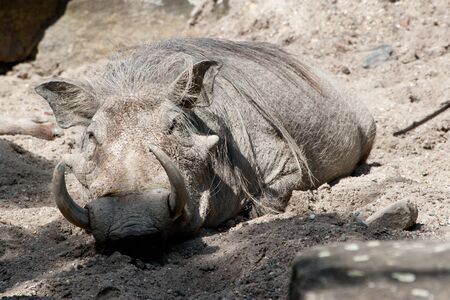 wallowing: warthog