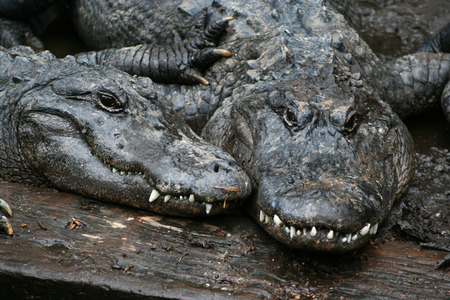 protozoan: Two alligators Stock Photo