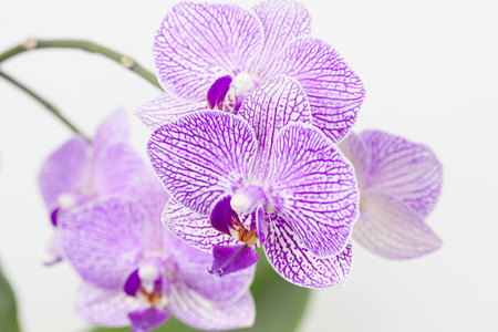 exempted: Orchids in front of a white background