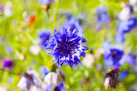 cornflower: Purple Cornflower Stock Photo