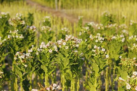 Green tobacco fields Stock Photo