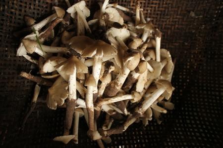 Termitomyces fuliginosus Heim, Termites Stock Photo