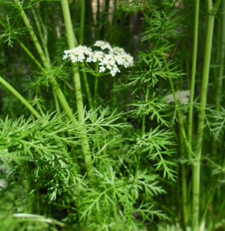 Caraway flowers and leaves (Carum carvi) photo