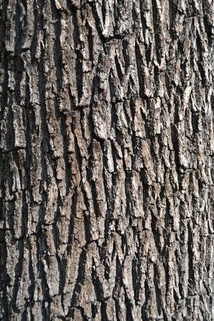 quercus robur: Bark of oak tree  Quercus robur
