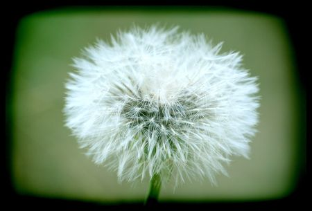 preoccupation: a dandelion for 1000 wishes Stock Photo