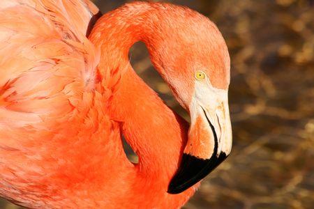 fad: a pink flamingo bird in a pond, long neck Stock Photo