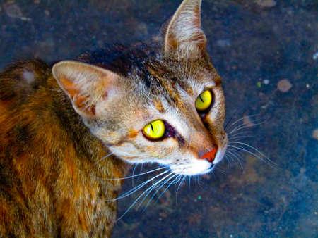 Beautiful rusty-spotted cat (Prionailurus rubiginosus ) looking into camera.