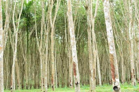 Milchiges Latex aus Gummibaum, Quelle des Naturkautschukbaums in Thailand