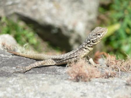 Close up of a lizard sunbathing on a rock in the sun in Machu Picchu Peru