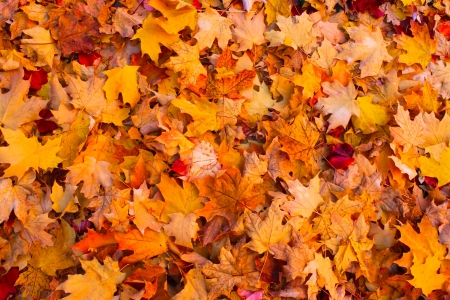red carpet background: Dry autumn leaves background