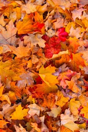 dode bladeren: Droge herfst bladeren