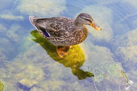 duck feet: Mallard duck standing on a stone