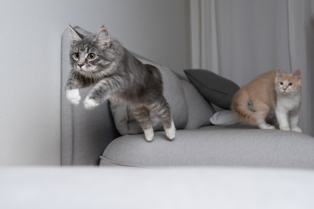 blue tabby maine coon kitten about to jump over the sofa. cream  colored cat is watching from the bnackground Фото со стока