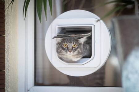blue tabby maine coon kitten passing through cat flap looking at camera