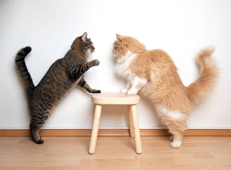 two cats armwrestling fight battle. side view of two cats facing each other on a wooden stool in front of white wall. one cat is raising its paw