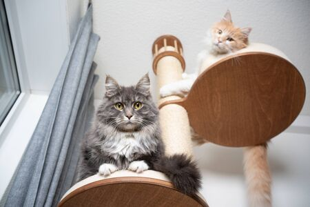 low angle view of two fluffy maine coon longhair cats resting on scratching post looking down at camera