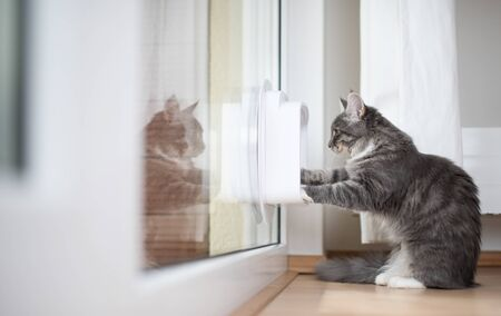 blue tabby maine coon kitten standing in front of cat flap