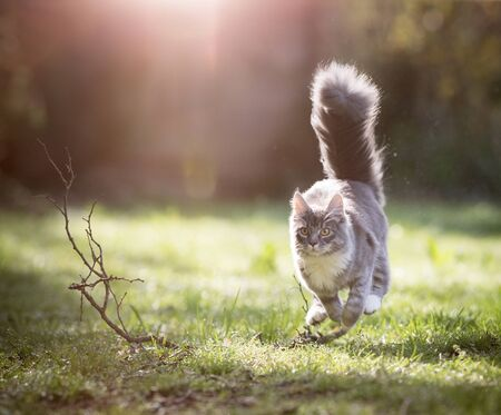 young blue tabby maine coon cat with fluffy tail running towards camera in the back yard on a sunny day