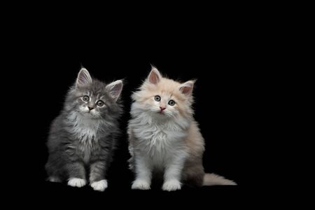 front view of two different 8 week old maine coon kittens sitting, tilting head, looking at camera on black studio background