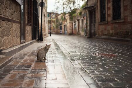 turkish stray cat on wet cobblestone ground in the old town of antalya