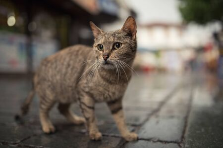turkish stray cat standing in the old town of antalya, turkey