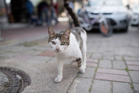tabby white turkish stray cat crossing the street in antalya