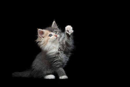 cute maine coon kitten with rare fur color sitting raising paw on black studio background