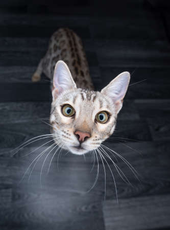 high angle view portrait of a curious black silver tabby rosetted bengal cat looking up at camera 写真素材 - 150638907