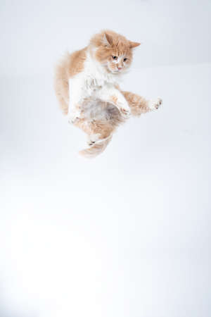 cream tabby white maine coon cat jumping in the air flying in front of white background with copy space 写真素材 - 150638983
