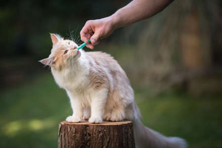 cream colored maine coon cat getting medication into mouth with syringe 写真素材