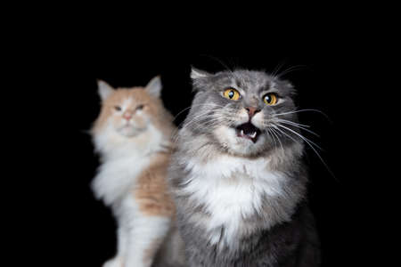 funny portrait of two maine coon cats on black background looking at camera. one cat has an open mouth and ears fold back complaining about other cat 写真素材 - 150639450