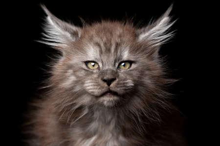 studio portraitt of a beautiful maine coon kitten looking at camera 写真素材