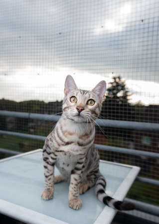curious young black silver tabby rosetted bengal cat sitting on table outdoors on balcony in front of safety net looking at camera 写真素材 - 150640317