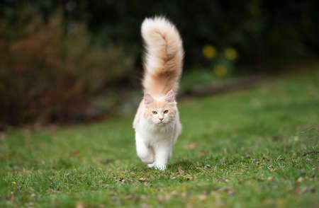 cream colored beige white maine coon cat with large fluffy tail walking on grass looking at camera 写真素材 - 150640337