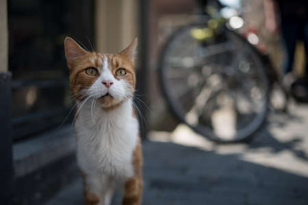 curious cat in amsterdam standing in front of house and bicycle 写真素材 - 150640077