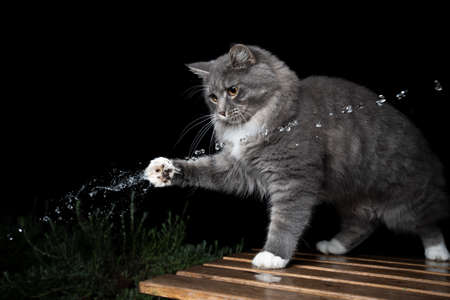young curious blue tabby maine coon cat with white paws outdoors playing with water jet in front of black background 写真素材 - 150640327