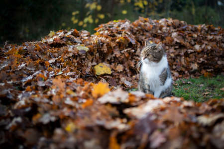 tabby white british shorthair cat outdoors in the garden standing next to a pile of autumn leaves observing the area 写真素材 - 150639613