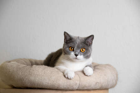 curious young blue white british shorthair cat resting on pet ped looking at camera 写真素材 - 150642033