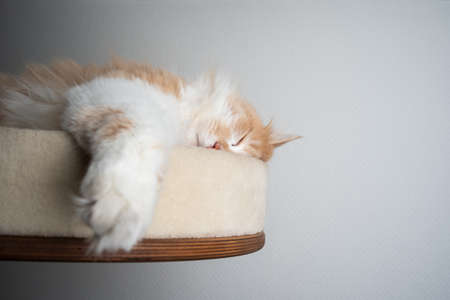 beige white maine coon longhair cat resting on scratching post pet bed platform sleeping with eyes closed and copy space 写真素材 - 150642129
