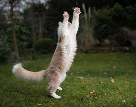 playful cream tabby maine coon kitten jumping in the air in the back yard to reach cat's toy 写真素材
