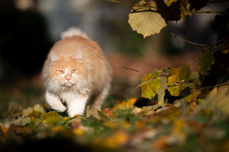 beige white maine coon cat on the prowl walking towards camera looking in the sunlight in autumn 写真素材 - 150642227