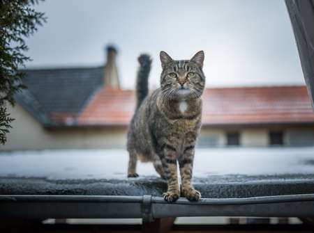 front view of a domestic shorthair cat standing on a snowy roof looking at camera 写真素材 - 150642356